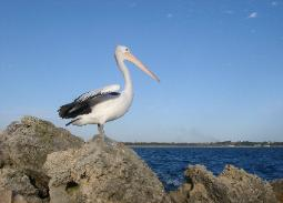 Image of a pelican looking out over the ocean